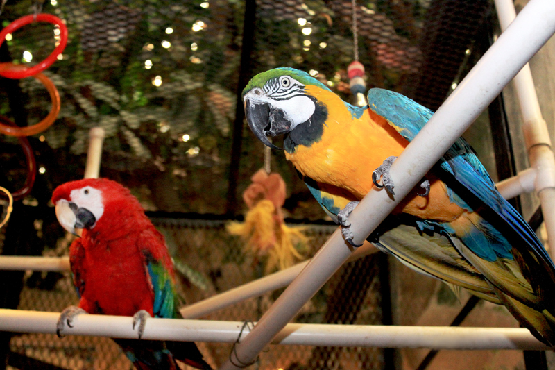 Picasso and Da Vinci, Macaws